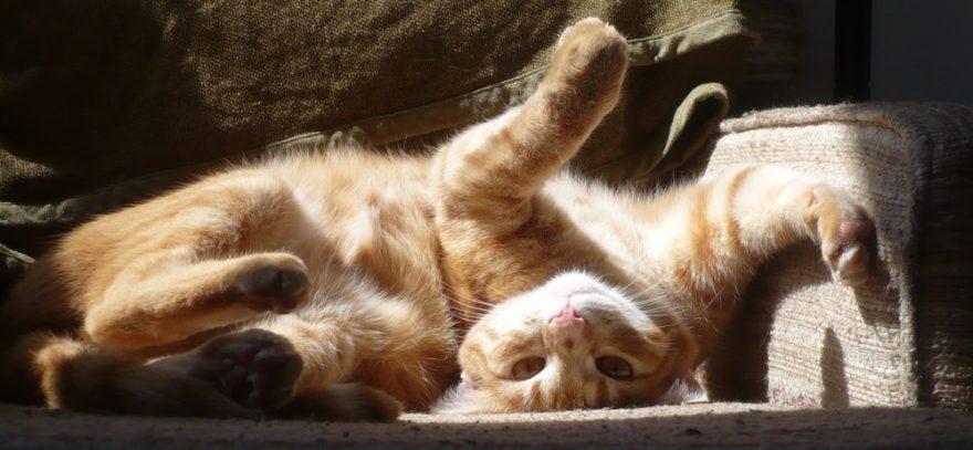 an orange cat lies upside down